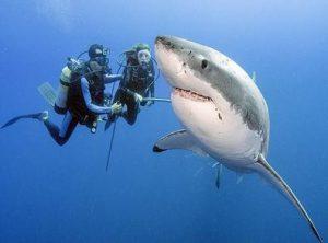 Акула и водолазы