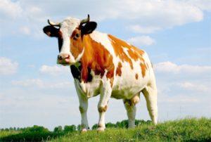 Боязнь коров
