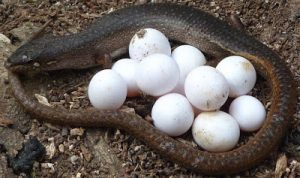 Ватные шарики похожи на яйца рептилий