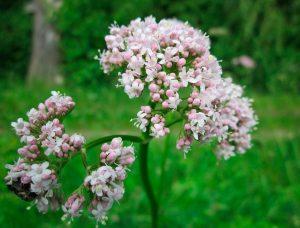 валериана - лечебная трава