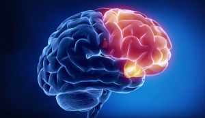 префронтальная зона головного мозга