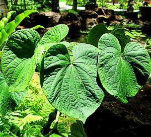 кава-кава - лекарственное растение